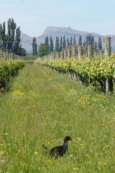 Hawkes Bay winery, New Zealand, Maimai Creek - with pukeko (NZ swamp hen) strutting across the foreground New Zealand Cities, Bay News, New Zealand Landscape, Wine Vineyards, Holiday List, Kiwiana, Bay City, In Vino Veritas, South Island