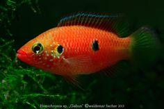 """Red Jewel Cichlids: Photo des Tages - Hemichromis sp. """"Gabun"""" Weibchen..."""