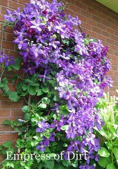 The beauty of clematis vine at its best. Come grab ideas from the clematis flowering vine gallery. The beauty of clematis vine at its best. Come grab ideas from the clematis flowering vine gallery. Clematis Care, Purple Clematis, Clematis Flower, Clematis Plants, Garden Yard Ideas, Backyard Ideas, Flowering Vines, Landscaping Tips, Garden Plants