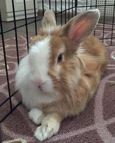 I woke up my mom at 6 am. I'm fine fellow!! #bunny_kroll #bunny #rabbit #benny #animals #animal #pet  #photooftheday #cute #pets #instagood #animales #cute #love #nature #animallovers #beauty #petstagram #petsagram #bunnies #lop #rabbitsworldwide #rabbits #rabbitoftheday  #кролик #декоративныйкролик #зайка by bunny_kroll
