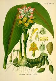 Resultado de imagen de ilustraciones antiguas de botanica de plantas aromaticas