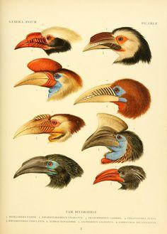Genera avium / - Biodiversity Heritage Library   Hornbills