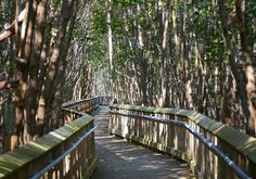 Deering Estate -- The Mangrove Boardwalk follows a historic coastal trail that pre-dates Charles Deering. Around 1918, Mr. Deering stabilized the trail with material dredged from his boat basin and channel, meticulously lining each side with aesthetically pleasing natural limerock. The original trail and bordering rocks are preserved beneath and alongside the boardwalk.