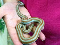 Northampton Reptile Centre is a leading authority on reptile pet care in the UK. Trust us to ensure you get the right food and supplies for your reptile Rosy Boa, Reptile Supplies, Reptiles And Amphibians, Tortoises, Bioshock, Mint Chocolate, Snakes, Pet Care, Creepy