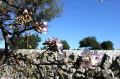 Mandorlo in fiore in Sicilia