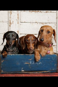 What's better than one dachshund? Three!