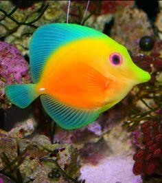 De agua salada, mi pez favorito. Increíbles esos colores, su forma. Podría estar horas mirándolos. Desde niño he querido una pescera, algún día, con mis peces favoritos. / Tang Fish