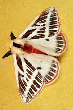 """Over 1,000 species of nocturnal moths come into the light, in the new book, """"Mariposas Nocturnas."""""""