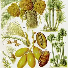 floridian chart in botany: Litchi persimmon loquat tropical fruit flower by surrenderdorothy