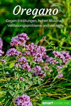 Oregano – Antibiotikum, heilsames Würzkraut und viel mehr Oregano is not just a delicious condiment for the pizza. He is extremely healthy and can help with digestive problems, colds, headaches and much more!
