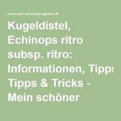 Kugeldistel, Echinops ritro subsp. ritro: Informationen, Tipps & Tricks - Mein schöner Garten Tricks, Math, Plants, Gardening, Nice Asses, Mathematics, Math Resources, Plant, Early Math