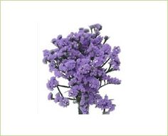 Million Blue - Sinuata (Statice) - Limonium - Flowers by category | Sierra Flower Finder