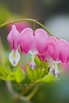 White bleeding heart never knew they existed other than red ones bleeding hearts give me memories of my mom she had them in her front yard mightylinksfo