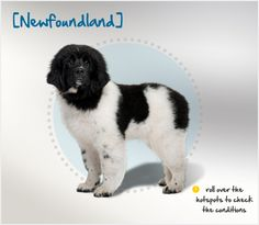 Did you know that Newfoundlands are renowned as water rescue dogs and their webbed feet, large lung capacity and phenomenal swimming power make them ideally suited for the job? Read more about this breed by visiting Petplan pet insurance's Condition Checker!