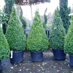 Buxus Sempervirens Topiary Cone