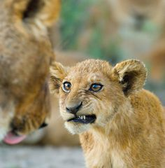 Lion Cub Snarl #coupon code nicesup123 gets 25% off at www.Provestra.com www.Skinception.com and www.leadingedgehealth.com
