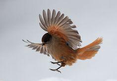 Lavskrika © Wild Wonders of Europe /Sven Zacek / WWF