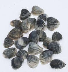 Craft Shells Black Gray Seashells Beach Wedding von Seagypsys