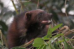 Wolverine Images, Wolverine Animal, Cotswold Wildlife Park, Honey Badger, Red Panda, Wolverines, Black Bear, Otters, Prehistoric