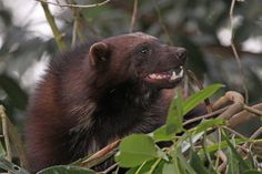 Wolverine (Gulo gulo). UK. Photo by Roger Wasley (at https://www.flickr.com/photos/rogerwasley/7878677506/).