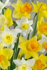 Mixed Golden Trumpets - Daffodil Bulbs Narcissus Bulbs, Daffodil Bulbs, Daffodils, Perennial Bulbs, British Garden, Trumpets, Spring Sign, Spring Garden, Shrubs