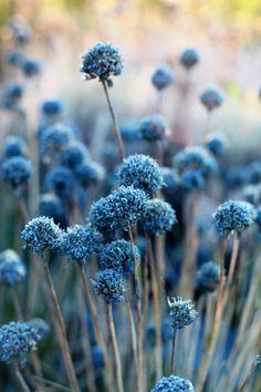 Wie blaue Pompons sehen diese Naturschönheiten aus. #Blau #Blumen