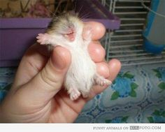 Happy baby hamster
