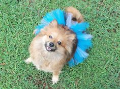 Tutu's for you puppy, dog, pooch, pet, pet costume, costumes, pet tutu, dog skirt, dog costume, animal tutu, animal costume, photo prop