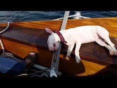 Unmöglicher Schlafplatz Miniatur Bullterrier - YouTube English Bull, Bull Terriers, Bullies, Goats, Horses, Friends, Youtube, Animals, Bite Size