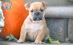 Chops | English Bulldog Puppy For Sale | Keystone Puppies