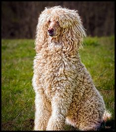 """like it but what is it?  my guess = standard poodle doodle""-interestingly, it could be an Afghan, with curly hair and a relatively short haircut, our Norman looked a lot like this! (unless I really brushed out the curls)"