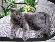 Korat Rare Cat Breeds, Rare Cats, Big Cats, Cats And Kittens, Korat Cat, Japanese Bobtail, Havana Brown, Personal History, Russian Blue