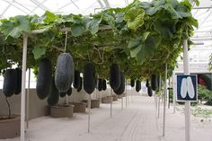 Hanging melons in a hydroponic garden (at disney); Definitely an interesting nice set-up.