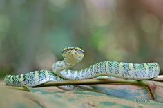 Kingdom Animalia, Wagler's Pit Viper (by melvynyeo) Snake Photos, Pit Viper, Reptiles And Amphibians, Snakes, Animaux, Viper, A Snake, Snake