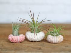 These Ionantha air plants are the perfect size and color for these beautiful and unique pink sea urchins. While these guys might be small,