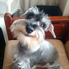 Schnauzer. OMG I love this sweet face!
