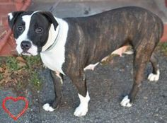 Brooklyn Center GUCCI – A1058220 FEMALE, BL BRINDLE / WHITE, PIT BULL MIX, 1 yr, 6 mos OWNER SUR – EVALUATE, NO HOLD Reason LLORDPRIVA Intake condition EXAM REQ Intake Date 11/17/2015 http://nycdogs.urgentpodr.org/gucci-a1058220/