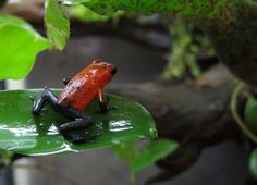 I love these Strawberry Poison Arrow Frogs! There color reminds me of Spider Man's costume:) I am really thing about getting back into breeding frogs like these but only if I have buyers for the babies?