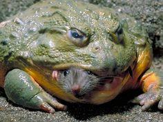 URGENTE. Si ve una RANA de este tipo tenga mucho cuidado, por favor lea este post completo que es muy importante  Una plaga de ranas toro amenaza con llegar al Gran Mendoza