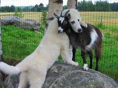 dog  cuddling, hugging goat