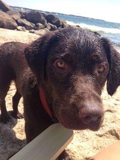 Labrador Retrievers love the beach!