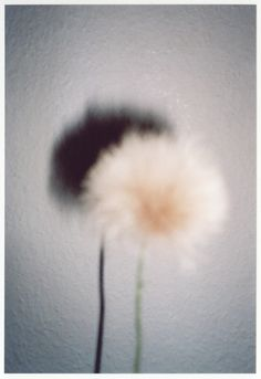 Alter Ego >> Dandelion and shadow.