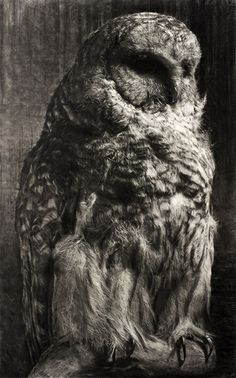 """High definition giclee print of Tyler Vouros' original charcoal Barred Owl. Limited Edition 54"""" x 34"""" (2"""" White Border)"""