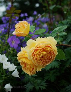 'Golden Celebration' roses (with blue geraniums and white campanulas) - i love this color combination for yellow roses