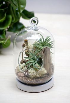 NEW Poppy Seed Tabletop / Hanging Air  Plant by theZenSucculent