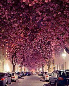 Cerejeiras em uma rua em Bonn, Alemanha  Curta Mistérios do Mundo