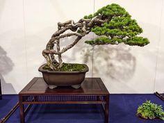 Pine Bonsai, Juniper Bonsai, Bonsai Trees, Bonsai Garden, Garden Ideas, Planter Pots, Backyard, Indoor, Gardening