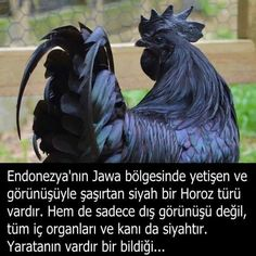 Ayam Cemani: Chicken / Rooster All Black – ReHiTu Ayam Cemani: Her Şeyi Siyah Olan Tavuk / Horoz Ayam Cemani: Chicken / Rooster All Things Black – ReHiTu Pet 1, Good Sentences, Turu, All Black Looks, Islamic Images, Interesting Information, Wtf Fun Facts, Wild Nature, Pretty Birds