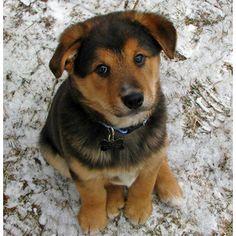 Golden Retriever Chow Mix Puppy