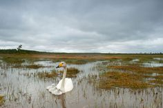 Whooper swans, Finland, 2010